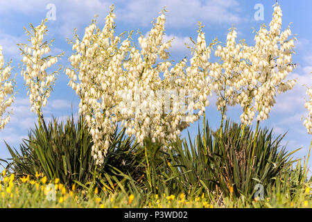 Spanish dagger, Yucca Gloriosa fleurs blanches Banque D'Images