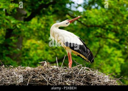 Cigognes blanches (Ciconia ciconia) Message d'accueil dans le nid, la Suisse. Banque D'Images