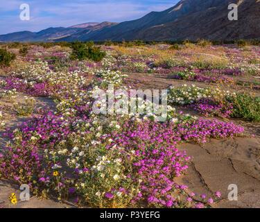La verveine, Torrey Canyon, Henderson, Anza-Borrego Desert State Park, CA Banque D'Images