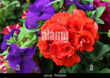 Belles plantes à massifs d'été dynamique: Rouge Géranium et deep purple Pétunia fleurs. Banque D'Images