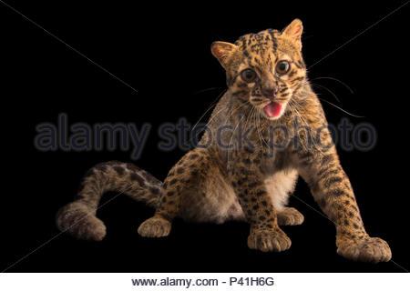 Un portrait d'un chat marbré, Pardofelis marmorata. Banque D'Images