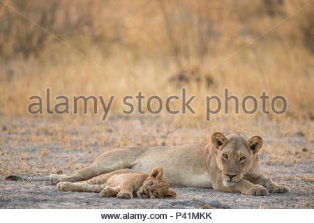 Une lionne et lion cub reste au Botswana Chitabe la zone de concession. Banque D'Images