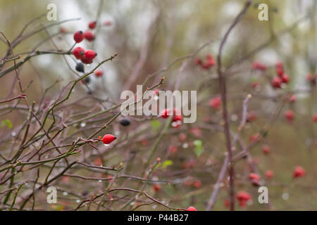De nombreux bourgeons rose musquée sur des rameaux avec des gouttes de pluie, selective focus Banque D'Images