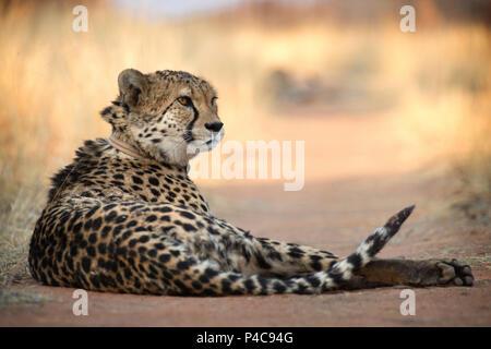 Cheetah au repos sur une route, avec collier émetteur, Okonjima Réserver, Namibie Banque D'Images