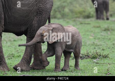 La mère et l'enfant avec des éléphants à Mahali Mzuri dans le Motorogi Olare Conservancy, Masai Mara, Kenya, Afrique de l'Est. Genre Loxodonta. Banque D'Images