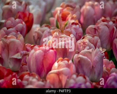 Jardins de Keukenhof, Pays-Bas: Tulip Salmon Impression Banque D'Images