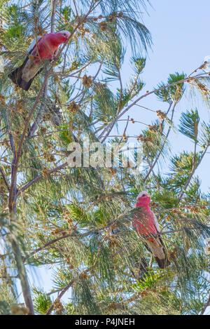 Paire de perroquets colorés cacatoès Rosalbin en plein air sur une branche d'arbre dans le matin. Australian cockatoo rose et gris