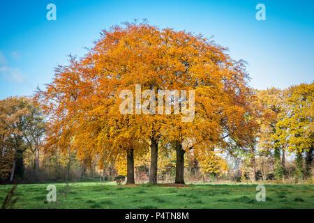 Trois arbres en automne de belles couleurs dans la réserve naturelle Wamberg, Berlicum, Pays-Bas Banque D'Images