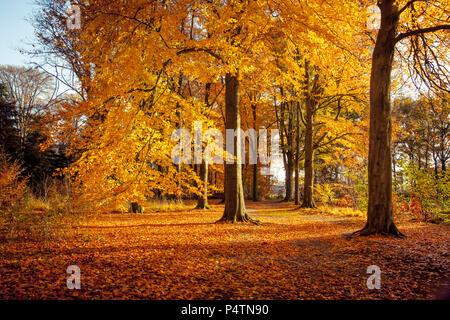 Les hêtres en automne de belles couleurs dans la réserve naturelle Wamberg, Berlicum, Pays-Bas Banque D'Images