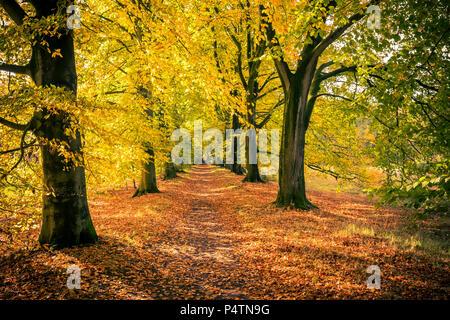 Forest Lane de hêtres à l'automne Banque D'Images
