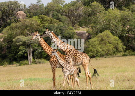 Les Masais Girafe (Giraffa camelopardalis tippelskirchi) Promenade à pied dans la savane à Serengeti National Park, Tanzania Banque D'Images