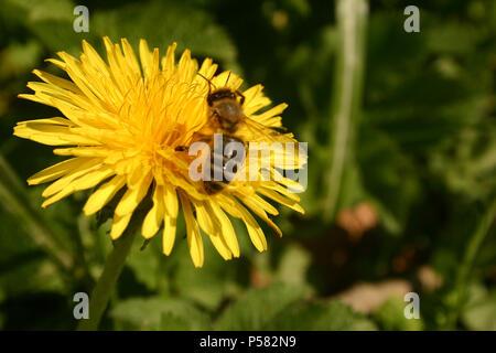 Abeille sur fleur de pissenlit Banque D'Images