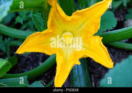 Fleur de courgette courgette ou en fleurs en été de plus en plus un pays rural potager dans Carmarthenshire Dyfed Pays de Galles UK KATHY DEWITT Banque D'Images