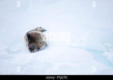 Phoque de Weddell sur la banquise, l'Antarctique Banque D'Images