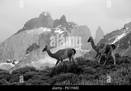 Troupeau de guanacos (Lama guanicoe) DANS LE PARC NATIONAL DES TORRES DEL PAINE avec ANDES PEAK derrière - Patagonie, CHILI