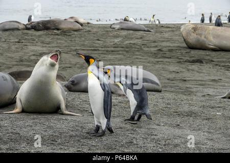 Sevré (juvénile) partage l'éléphant de la plage à St Andrew's Bay avec le Roi des pingouins. La Géorgie du Sud