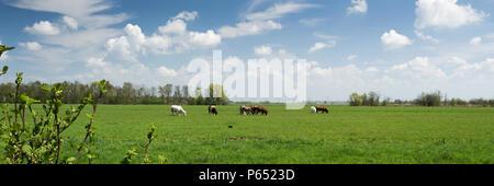 Belle vue panoramique sur le paysage typiquement hollandais avec des vaches, des prairies et de ciel bleu avec des nuages blancs Banque D'Images