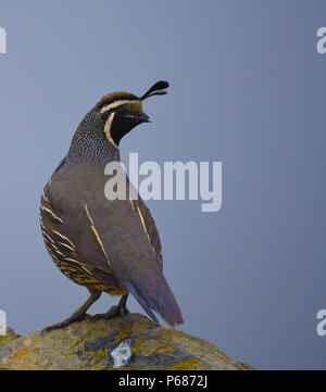 L'oiseau de l'état de Californie, Callipepla californica, ou colin de Californie, près du sommet du Mont Tamalpais à Marin Pays, près de San Francisco. Banque D'Images