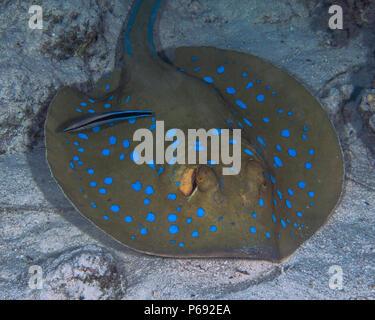 Bluespotted stingray (Taeniura lymma) est de faire nettoyer par un bluestreaked cleaner wrasse (Labroides dimidiatus) alors qu'elle repose sur le fond de la mer. S rouge