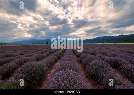 Le lever du soleil sur les champs de lavande dans la Bulgarie. Banque D'Images
