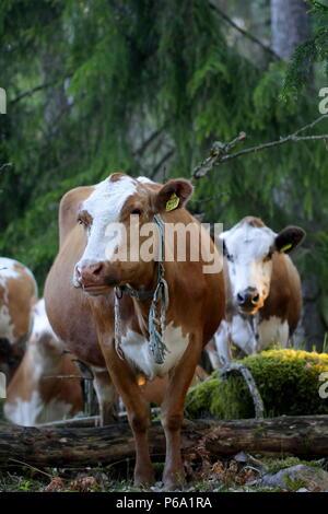Le pâturage du bétail dans un pâturage forestier en Finlande