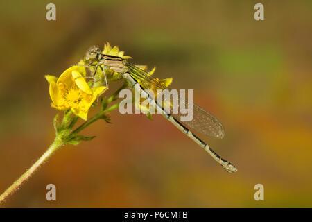 Une demoiselle fly, l'un des plusieurs espèces que l'on trouve dans le Pacifique Nord-Ouest, près d'un étang dans le centre de l'Oregon
