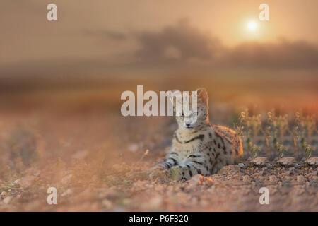 Serval chat pendant le coucher du soleil Banque D'Images
