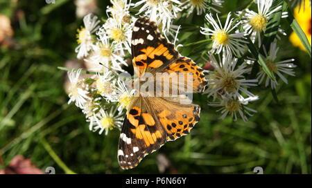Un papillon se reposant sur des fleurs blanches. Banque D'Images