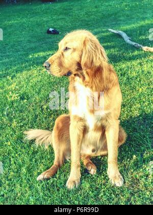 Jeune golden retriever est reposant sur l'herbe dans le parc. Sweet retriever assis à l'extérieur et à la recherche en soleil du soir Banque D'Images