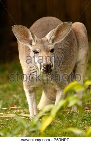 Kangourou rouge enceintes Banque D'Images