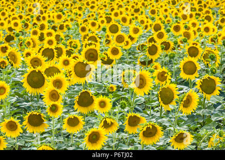Un champ de tournesols, Provence, France Banque D'Images