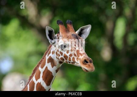 Giraffe réticulée, portrait adultes, l'Afrique, Giraffa camelopardalis reticulata