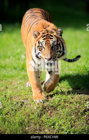 Tigre de Sumatra, mâle adulte, la marche, Sumatra, d'Asie, Panthera tigris sumatrae Banque D'Images