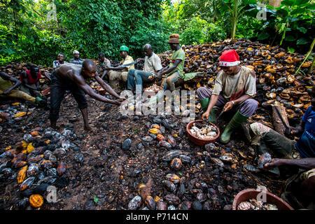 Briser les agriculteurs de cacao récolté (cacao), Côte d'Ivoire, Afrique de l'Ouest, l'Afrique Banque D'Images