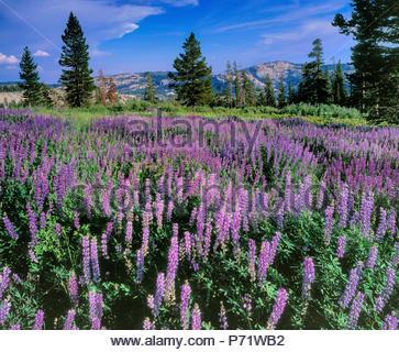Lupin, Lupinus angustifolius, Horse Prairie, Emigrant Wilderness, forêt nationale Stanislaus, la Sierra Nevada, en Californie Banque D'Images
