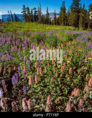 Blue Lupin, Lupinus angustifolius, Horsemint Agastache urticifolia, cheval, prairie, Emigrant Wilderness, forêt nationale Stanislaus, Sierra Nevada Moun Banque D'Images