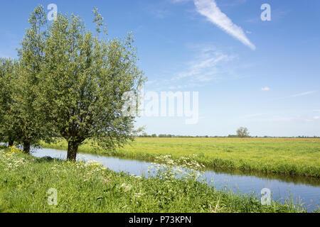 Vue sur grande ouverte typique paysage hollandais dans la campagne à l'été avec l'herbe verte, le ciel bleu, les saules et un fossé avec de l'eau douce Banque D'Images