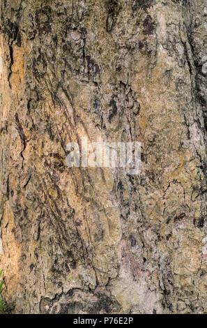 Griffes de tigres des rayures sur l'arbre en tant que marque la frontière du territoire. Photo d'animaux et de la faune Banque D'Images