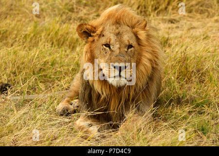 Lion (Panthera leo), homme couché dans l'herbe sèche, Moremi National Park, Moremi, Okavango Delta, Botswana Banque D'Images