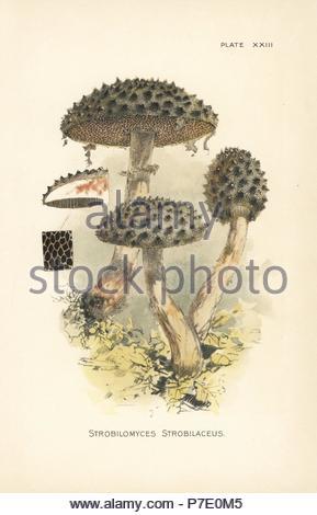 Vieil homme des bois, Strobilomyces strobilaceus. Chromolithographie après une illustration botanique par William Hamilton Gibson de son livre nos champignons comestibles et Toadstools, Harper, New York, 1895. Banque D'Images