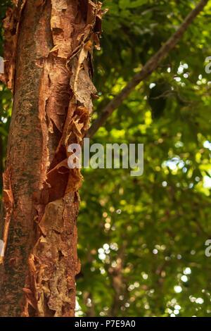 Le Gumbo Limbo-comique est appelé l'arbre parce que l'arbre de l'écorce est rouge et de l'épluchage, comme la peau d'un coup de soleil les touristes, qui sont une Banque D'Images