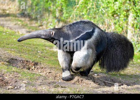 Gros plan du fourmilier géant (Myrmecophaga tridactyla) marcher sur l'herbe Banque D'Images