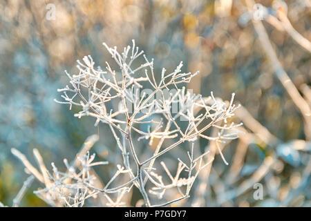 Gros plan macro de gel des cristaux de glace sur les mauvaises herbes sèches dans l'usine parapluie matin lever du soleil en hiver, automne Banque D'Images