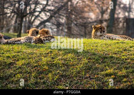 Portrait d'un beau chat sauvage guépard d'Afrique Banque D'Images
