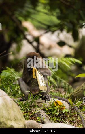 Manger à l'extérieur de macaques un sac en plastique, de l'Indonésie Banque D'Images