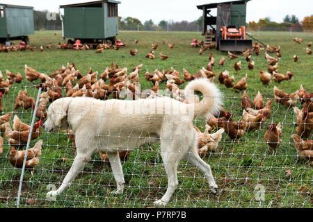 Poulet sur une ferme avec un chien à la recherche après eux Banque D'Images