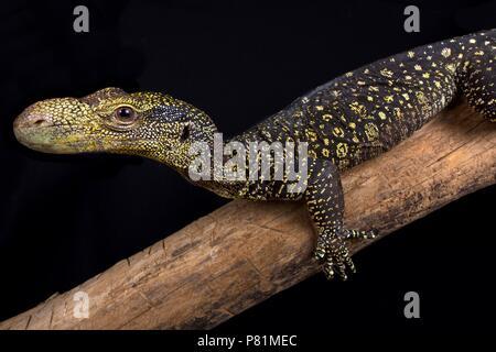 Le moniteur de crocodile (Varanus salvadorii) est la plus longue des espèces de lézards dans le monde. Ces dragons sont endémiques à la Papouasie-Nouvelle-Guinée et l'Ouest Pap Banque D'Images