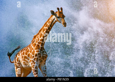 Une girafe s'exécutant sur fond de l'eau splash Banque D'Images