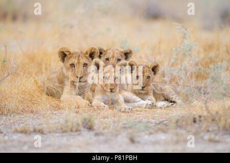 Cute des lionceaux dans désert Etosha