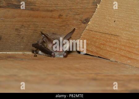 Vleermuis Bechsteins, Bechstein Myotis bechsteinii, la bat Banque D'Images